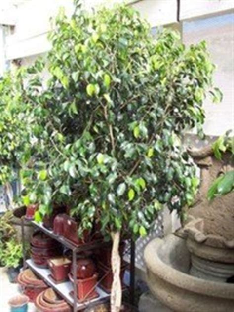 The Weeping Fig, Ficus benjamina- indoor and out - Dave's