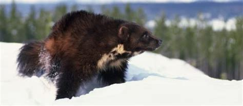 Wolverines - info and games