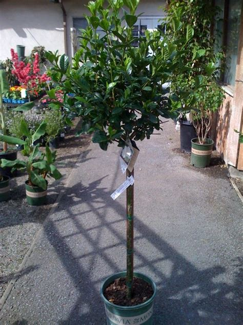 Enjoy the First Love Gardenia in a topiary form