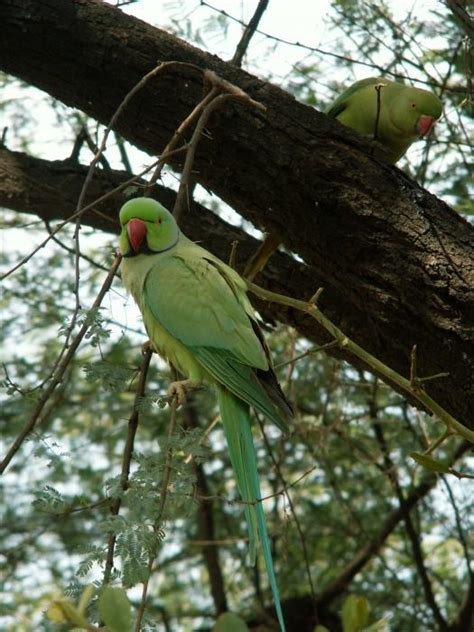 African-Asian Ringed-Necked Parakeets : MyParrots