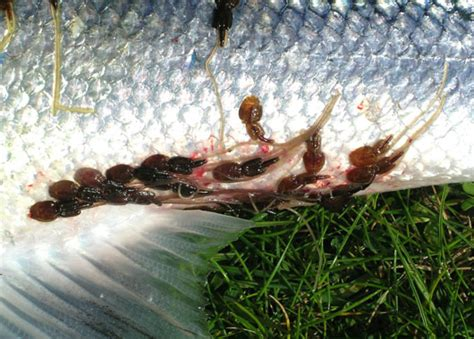 Large numbers of salmon are killed by parasites, finds new