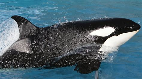 Video captures killer whale's SeaWorld rampage